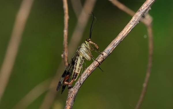 skorpionnitsa-muha-opisanie-osobennosti-obraz-zhizni-i-sreda-obitaniya-skorpionnitsy-5.jpg