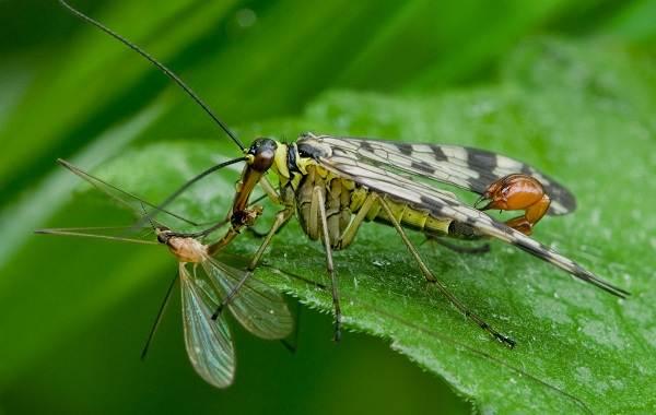 skorpionnitsa-muha-opisanie-osobennosti-obraz-zhizni-i-sreda-obitaniya-skorpionnitsy-6.jpg