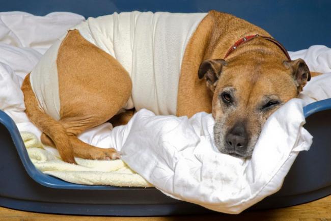 soins-du-chien-apres-une-operation-1.jpg