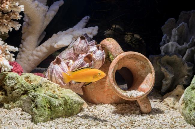 labidohromis-ellou-v-psevdomorskom-akvariume.jpg