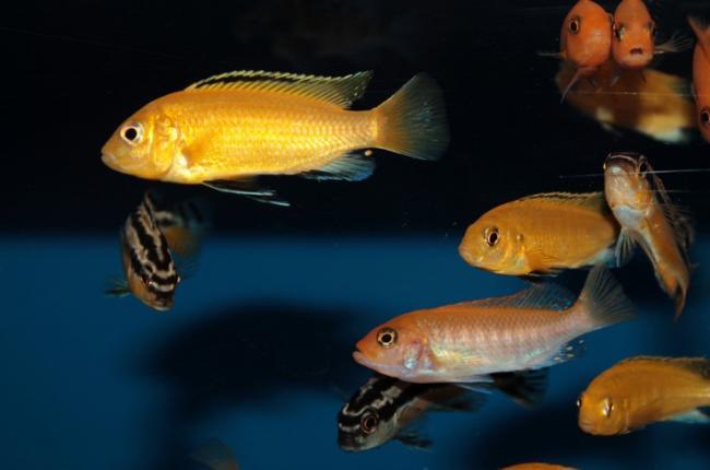 labidohromis-ellou-v-obshchem-akvariume-2.jpg