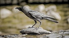 220px-Crow_eating_and_slobbering_on_dead_fish.jpg