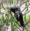 119px-House_Crows_%28Corvus_splendens%29_grooming_after_bath_in_the_rain_in_Kolkata_I_IMG_4324.jpg