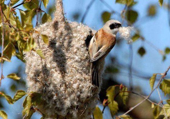 гнездо-ремеза.jpg