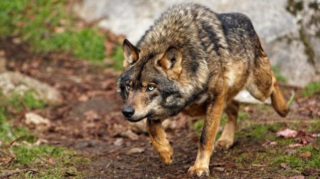 15_volk-samoe-agressivnoe-zhivotnoe-v-mire-1024x576.jpg