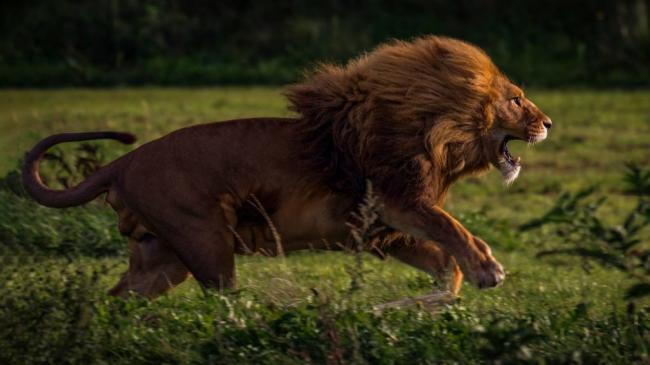 14_lev-panthera-leo-samoe-agressivnoe-zhivotnoe-v-mire-1024x576.jpg