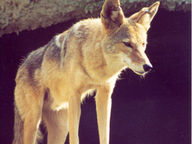 canis-latrans_small_01.jpg