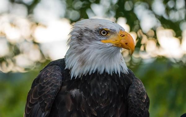 orlan-ptica-opisanie-osobennosti-vidy-obraz-zhizni-i-sreda-obitaniya-orlana-4.jpg