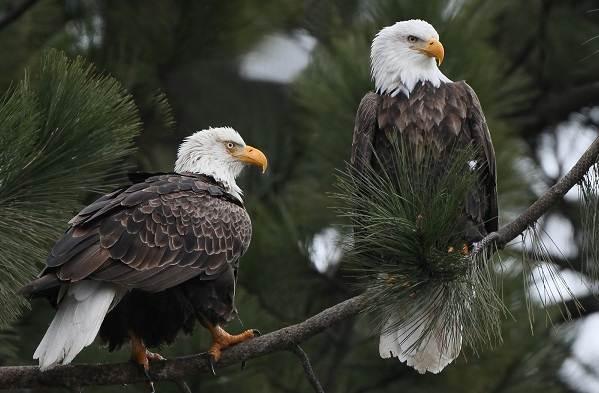orlan-ptica-opisanie-osobennosti-vidy-obraz-zhizni-i-sreda-obitaniya-orlana-14.jpg