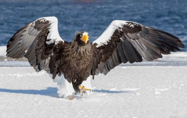 orlan-ptica-opisanie-osobennosti-vidy-obraz-zhizni-i-sreda-obitaniya-orlana-8.jpg