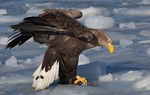 orlan-ptica-opisanie-osobennosti-vidy-obraz-zhizni-i-sreda-obitaniya-orlana-5.jpg