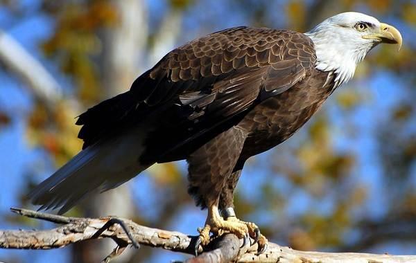 orlan-ptica-opisanie-osobennosti-vidy-obraz-zhizni-i-sreda-obitaniya-orlana-6.jpg