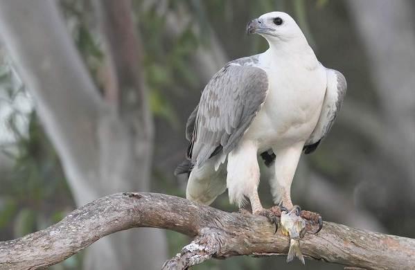 orlan-ptica-opisanie-osobennosti-vidy-obraz-zhizni-i-sreda-obitaniya-orlana-9.jpg