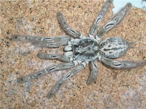 foto-pauka-ptitseeda-roda-heteroscodra-480x360.jpg
