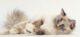 sacred-birman-cat-80x37.jpg