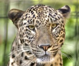 275px-Leopard---Panthera-pardus-saxicolor---Face---%28Gentry%29.jpg