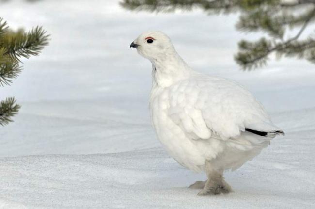 tundrjanaja-kuropatka-kochevaja-ptica-animalreader-ru-006.jpg