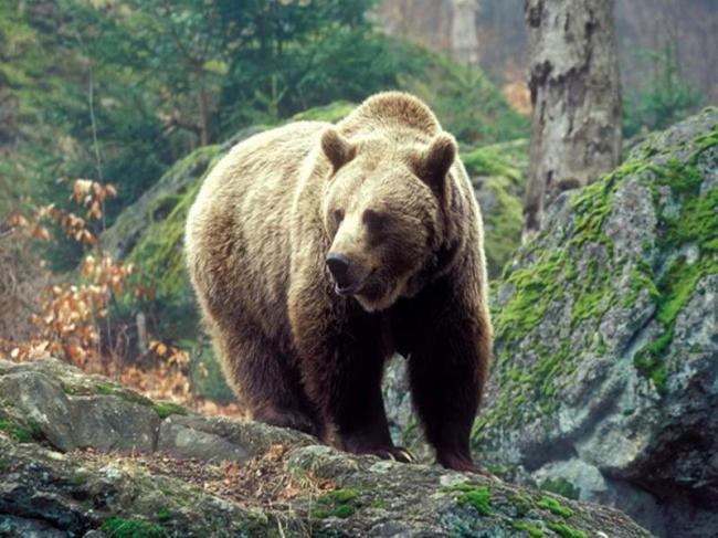 kavkazskij-medved-redkij-podvid-animal-reader.-ru-002.jpg