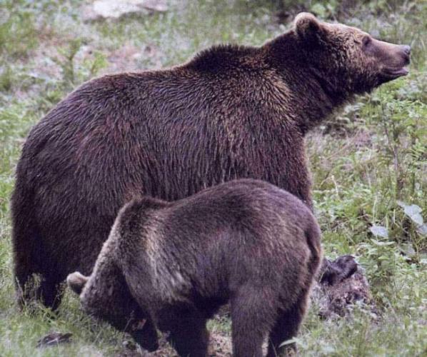 kavkazskij-medved-redkij-podvid-animal-reader.-ru-001-1024x857.jpg