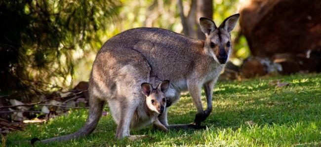 interesnye-fakty-pro-kenguru-2.jpg