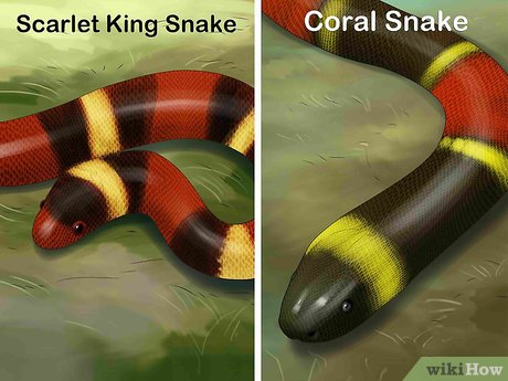 v4-460px-Tell-the-Difference-Between-a-King-Snake-and-a-Coral-Snake-Step-1-Version-5.jpg