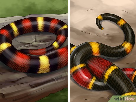 v4-460px-Tell-the-Difference-Between-a-King-Snake-and-a-Coral-Snake-Step-2-Version-4.jpg