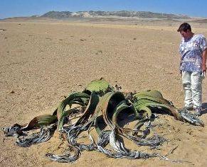 Welwitschia_mirabilis.jpg