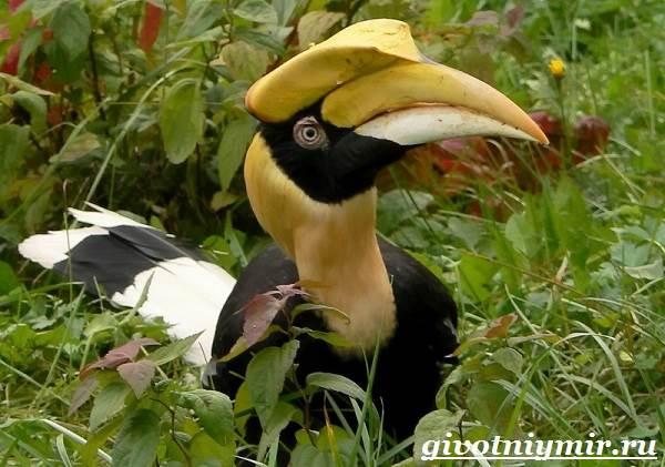 ptica-nosorog-obraz-zhizni-i-sreda-obitaniya-pticy-nosorog-8.jpg