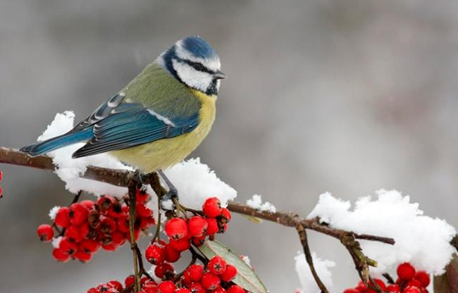 ptica-zimoy.jpg