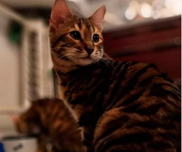toyger-cat.jpg