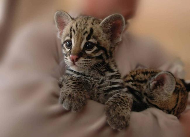 5.-tigrenok-oncilly.jpg
