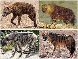 275px-Hyaenidae_Diversity.jpg
