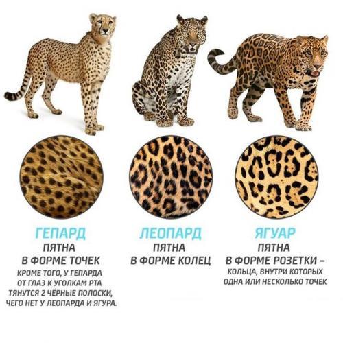 Razlichiya-geparda-leoparda-i-yaguara.jpg