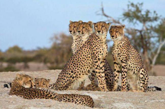 chem-otlichaetsya-gepard-ot-leoparda-opisanie-i-razlichiya-hishchnikov.jpg