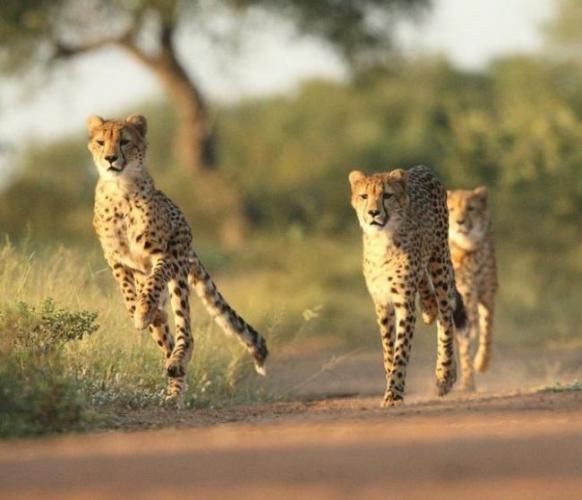cheetah19.jpg