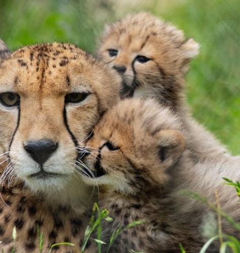 cheetah10.jpg
