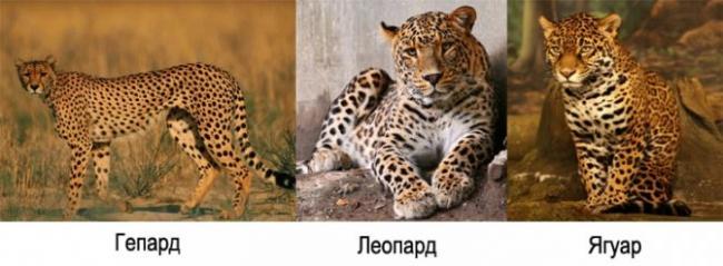 vneshnij-vid-leoparda-geparda-yaguara.jpg