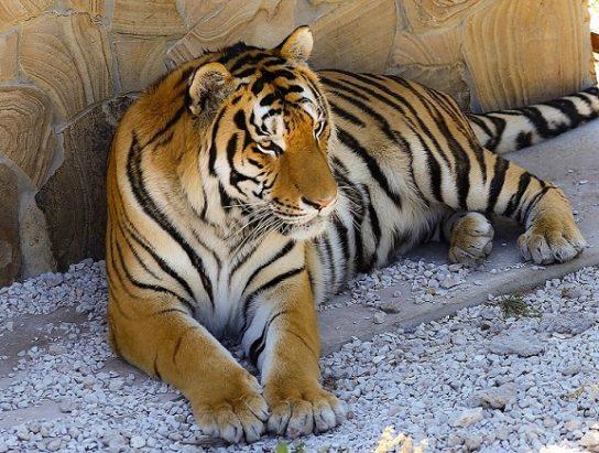 pochemu-tigr-polosatiy-544x411.jpg