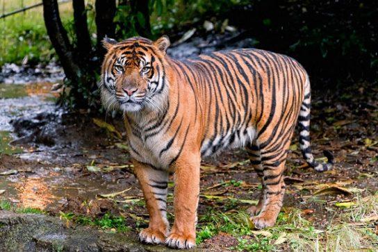 tigr-polosatyj-544x363.jpg