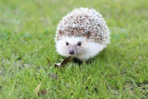 hedgehog-663638_960_7201-300x200.jpg