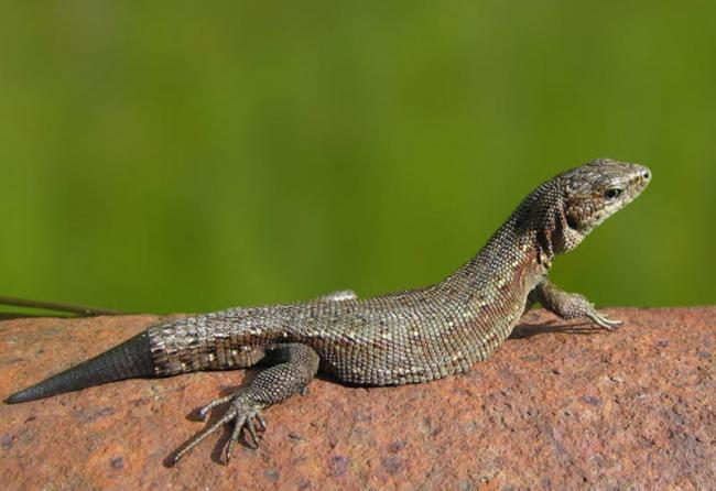 lizard_120316.jpg