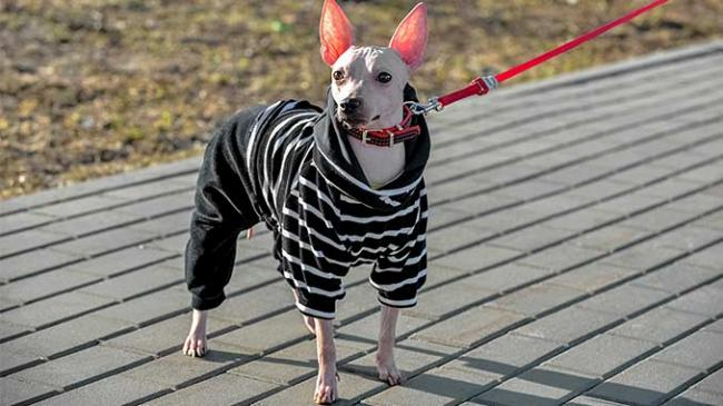 american-hairless-terrier-dog-breed-pictures-7.jpg
