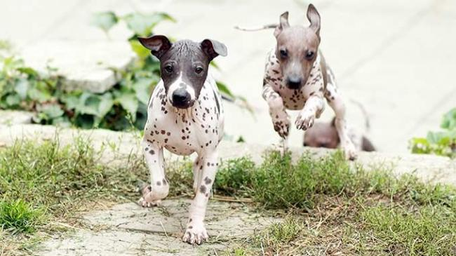 american-hairless-terrier-dog-breed-pictures-10.jpg