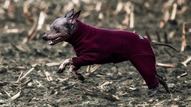 american-hairless-terrier-dog-breed-pictures-6.jpg