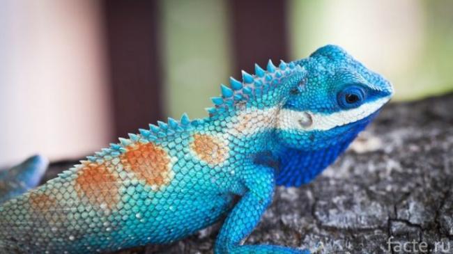 golubaya-iguana.jpg