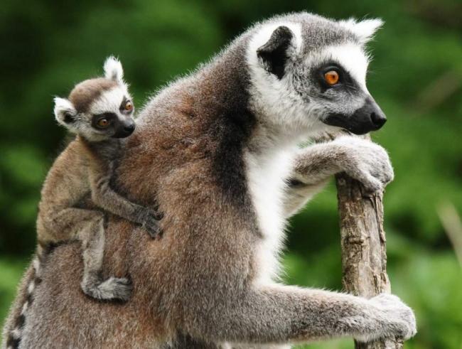 koshachij-lemur-madagaskarskij-maki-animal-reader.-ru-001-1024x775.jpg