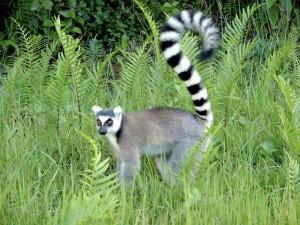 koshachiy-lemur-2-300x225.jpg