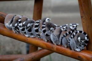 koshachiy-lemur5-300x199.jpg