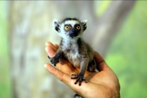 koshachiy-lemur1-300x201.jpg