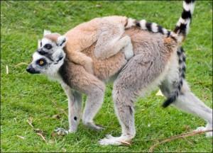 koshachiy-lemur3-300x216.jpg